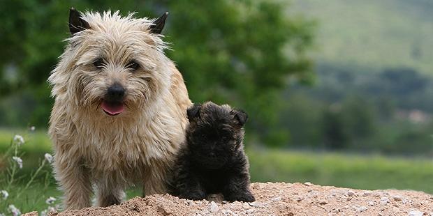 chien-cairn-terrier-chienne-chiot
