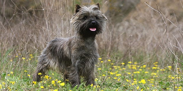 chien-cairn-terrier-foret