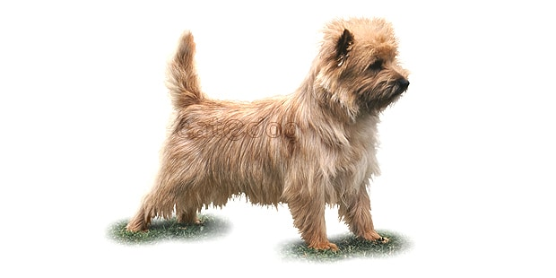 chien-cairn-terrier