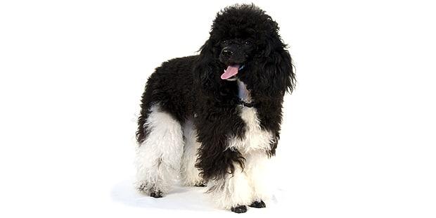 chien-caniche-noir-blanc