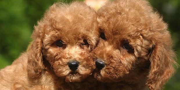 chien-caniche-chiots