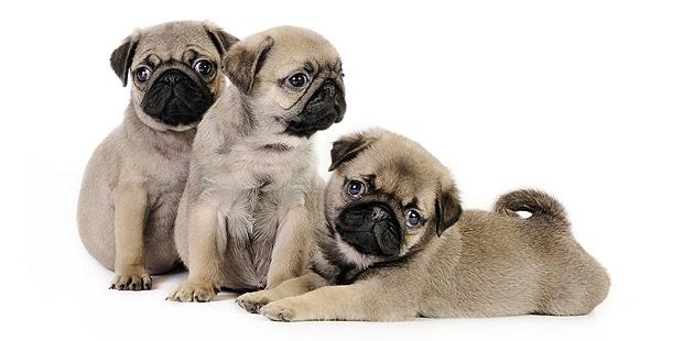 chien-carlin-pug-mops-chiots-trio
