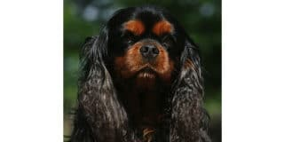cavalier-king-charles-noir-marron