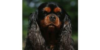 cavalier-king-charles-noir-marron