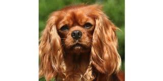cavalier-king-charles-marron