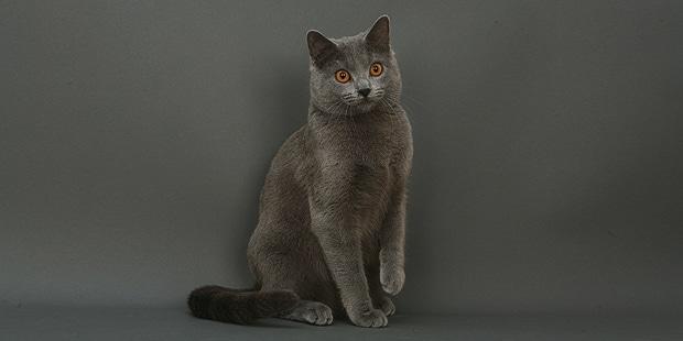 chat-chartreux-gris