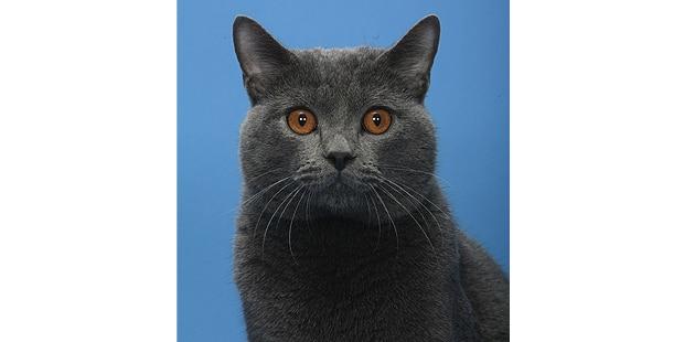 chat-chartreux-portrait