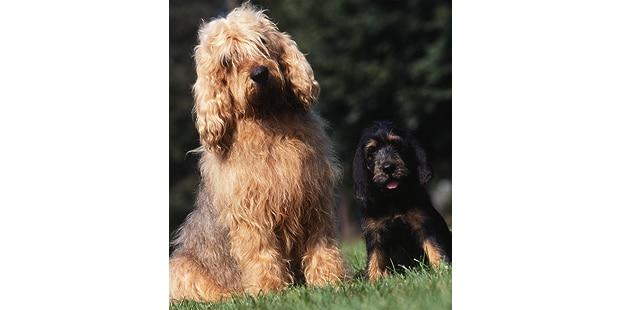 chien-a-loutre-otterhound-chienne-exterieur