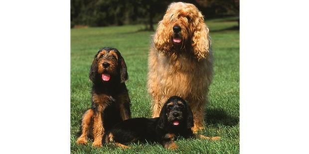chien-a-loutre-otterhound-chienne-chiots
