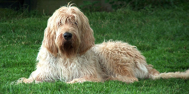chien-a-loutre-otterhound-couche