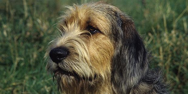 chien-a-loutre-otterhound-portrait