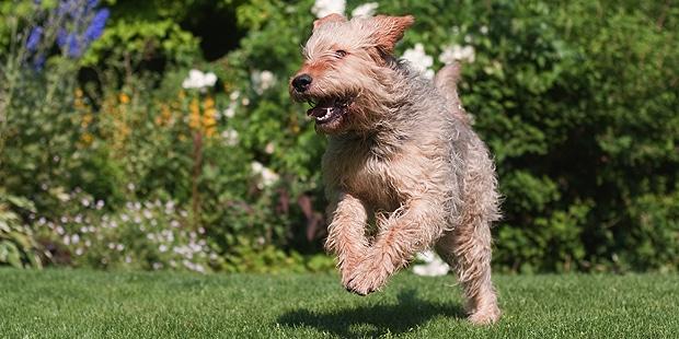 chien-a-loutre-otterhound-courir