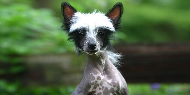 chien-chinois-a-crete-portrait