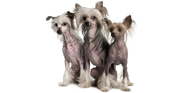 chien-chinois-a-crete-trio