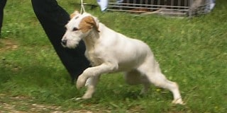 chien-courant-istrie-Istarski-Ostrodlaki-Gonic-exterieur