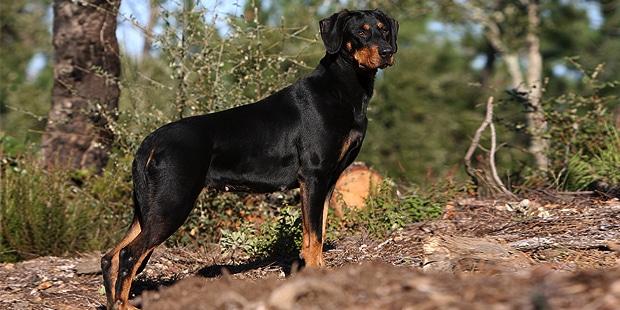 chien-courant-transylvanie-Brachet-Hongrois-foret