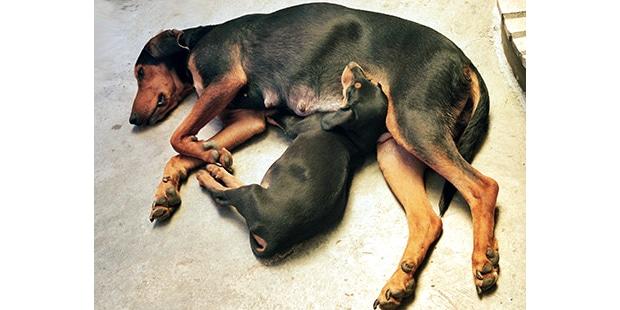 chien-courant-transylvanie-Brachet-Hongrois-chienne