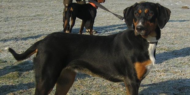 chien-courant-transylvanie-Brachet-Hongrois-exterieur