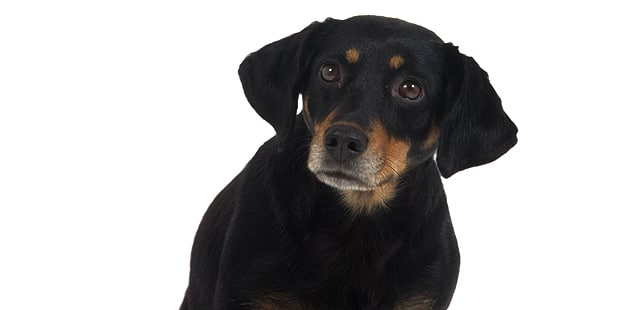 chien-courant-du-smaland-Smalandstovare-portrait