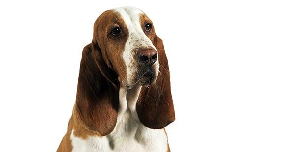 chien-courant-espagnol-sabueso-espanol-portrait