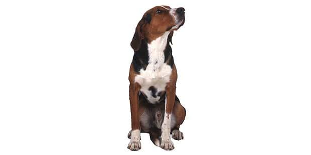 chien-courant-finlandais-Finnish-Hound-face