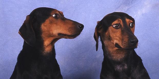 chien-courant-grec-Helliniko-Ichnilatis-couple