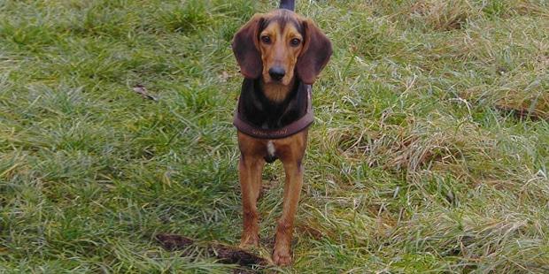 chien-courant-grec-Helliniko-Ichnilatis-prairie