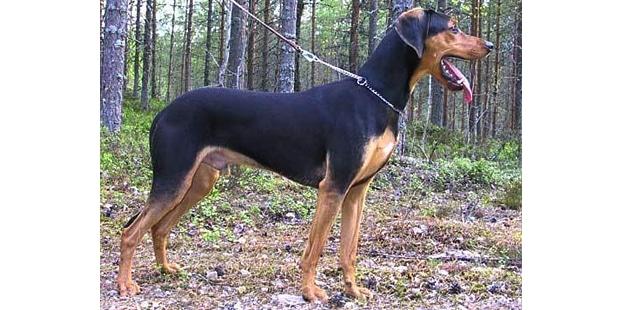 chien-courant-grec-Helliniko-Ichnilatis-foret