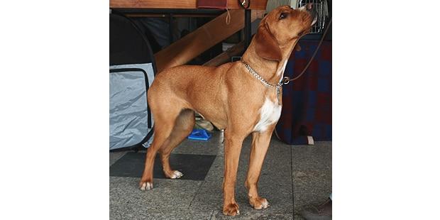chien-courant-polonais-Gonczy-Polski-interieur
