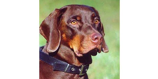 chien-courant-polonais-Gonczy-Polski-portrait