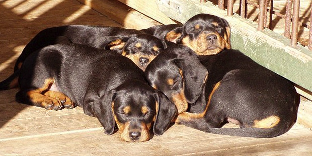 chien-courant-slovaque-Slovensky-Kopov-chiots