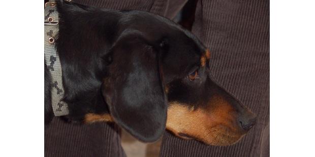 chien-courant-slovaque-Slovensky-Kopov-profil