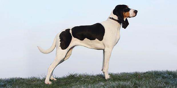 chien-courant-suisse-Lucernois-bernois-profil