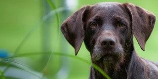 chien-braque-allemand-poil-portrait