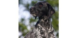 chien-braque-allemand-poil-exterieur