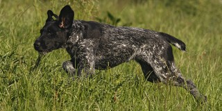 chien-braque-allemand-poil-courir