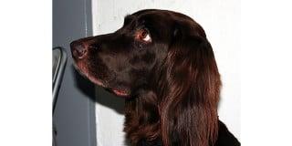 chien-arret-allemand-poil-long-tete