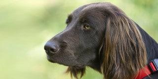 chien-arret-allemand-poil-long-portrait