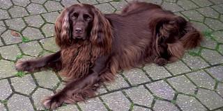 chien-arret-allemand-poil-long-couche