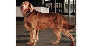 chien-arret-allemand-poil-long-profil