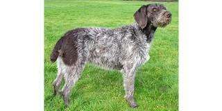 chien-arret-allemand-poil-raide-profil