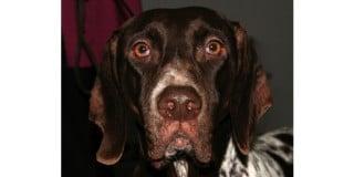 chien-arret-danois-ancestral-braque-tete