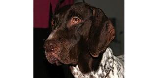 chien-arret-danois-ancestral-braque-portrait