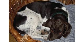 chien-arret-danois-ancestral-braque-panier