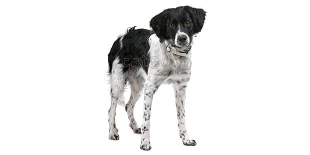 chien-arret-frison-Stabyhoun