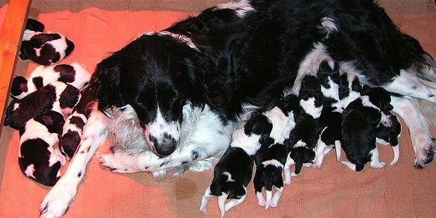 chien-arret-frison-Stabyhoun-chiots-chienne