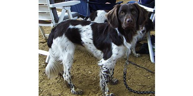 chien-arret-frison-Stabyhoun-exterieur