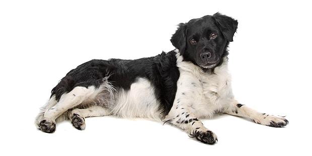 chien-arret-frison-Stabyhoun-couche