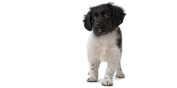 chien-arret-frison-Stabyhoun-chiot