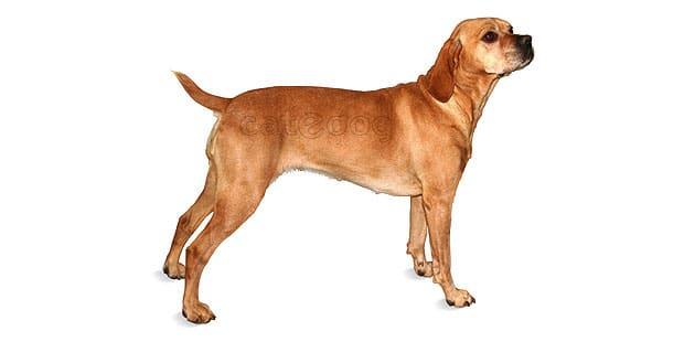 chien-arret-portugais-Braque-Portugais
